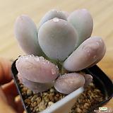 달마미인3219|Pachyphytum oviferum