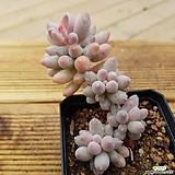 베이비핑거3229|Pachyphytum Machucae (baby finger)