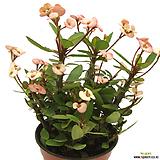 꽃기린(분홍색꽃/중품)|
