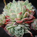 라즈베리아이스(신품종) Echeveria Rasberry Ice