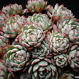 아즐리타(묵은둥이)한몸 Echeveria Azulita