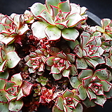 아즈타트랜시스 Echeveria longissima var aztatlensis