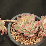 오리온 149661|Echeveria Orion