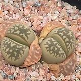 7년생 예쁜 리톱스 나우리니에 2두 (lithops naureeniae)-62|Lithops