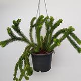 라이코포디움/공중식물/공기정화식물