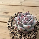 알바뷰티|Echeveria Alba Beauty