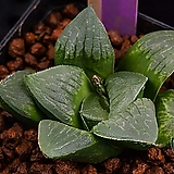 성영 금(무금묘)(星影 錦(無錦苗))-01-23-No.1490|Echeveria elegans Potosina