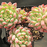 블루엘프 190009|Echeveria blue elf