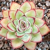 Echeveria Pelluchida cv(펠루시다) 씨앗 20립|Echeveria Lucy