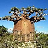 Adansonia Fony(바오밥 포니) 씨앗 5립|