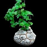 Dioscorea elephantipes(구갑룡) 씨앗 10립|Dioscorea elephantipes