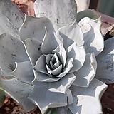 Dudleya arizonica(아르조니카) 씨앗 20립|
