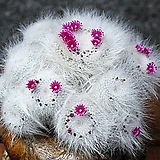 Mammillaria hahniana(옥옹) 씨앗 10립|