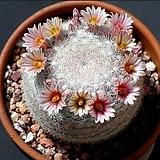 Mammillaria candida(만월) 씨앗 10립|