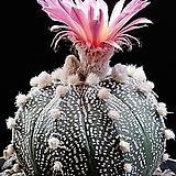 Astrophytum asterias Kultur - v rote Bluete(적화슈퍼투구) 씨앗 20립|