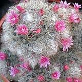 Mammillaria bocasana - v roseiflora(적화고사) 씨앗 10립|
