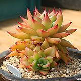 짧은잎적성|Echeveria agavoides Akaihosi
