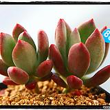 스윗캔디군생(자연)|Pachyphytum Doctor Cornelius