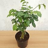 [꽃대통령]녹보수 소품 / 공기정화식물 한정판매