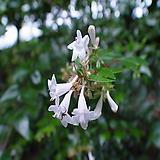 병꽃 (키 100cm) 5주 묶음|
