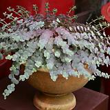 세잎 꿩의비름1포트(10cm)|