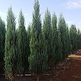 스카이로켓향나무 (H1.5)|