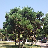 소나무 (H0.8~1.0)|