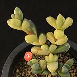 벽어연금(314-2)|Corpuscularia lehmanni