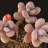 아메치스(314-5)|Graptopetalum amethystinum