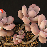 아메치스(314-6)|Graptopetalum amethystinum
