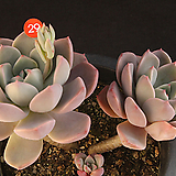 핑크프리티(314-29)|Echeveria Pretty in  Pink