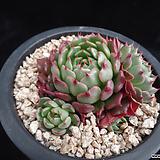 미니왕비황629 Echeveria minima cv. Miniouhikou
