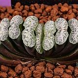 특백 옥선 특선(特白 玉扇 特選)-01-23-No.1172|Haworthia truncata