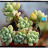 라울 군생(자연)|Sedum Clavatum