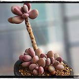 아메치스 군생(묵은둥이,목질화,자연군생)|Graptopetalum amethystinum