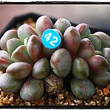 홍포도 군생(자연)|Graptoveria Ametum