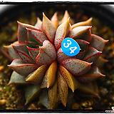 홍대화금군생(자연)|Echeveria purpusorum