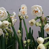 향수선화(흰색).향기짱!.4개.월동가능. 수경가능.꽃은 봉우리.상태굿|