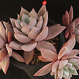 멕시코자이언트hy(314-31)|Echeveria Mexican Giant