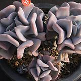 큐빅프로스티(314-35)|Echeveria pulvinata Frosty
