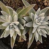 화이트그리니(314-42)|Dudleya White gnoma(White greenii / White sprite)