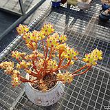 특가 을려심철화특대품군생|sedum pachyphyllum