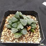 나(?) 옵투사 중묘|Haworthia cymbiformis var. obtusa