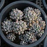 블루빈스 랜덤발송|Graptopetalum pachyphyllum Bluebean