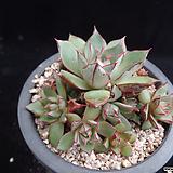 아즈타트랜시스39 Echeveria longissima var aztatlensis