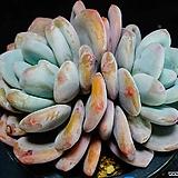 환엽후레뉴 91|Pachyphtum cv Frevel