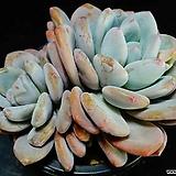 환엽후레뉴 92|Pachyphtum cv Frevel