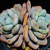 환엽후레뉴 94|Pachyphtum cv Frevel