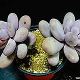 오비포럼 34|Pachyphytum oviferum