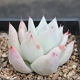 야생콜로라타-3-5236|Echeveria colorata
